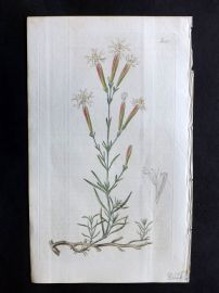William Curtis 1818 Botanical Print. Narrow-Leaved Procumbent Catchfly 1997